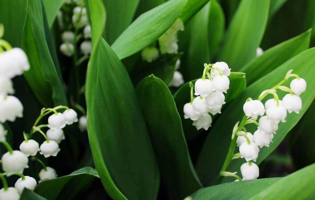 kwiaty do ogrodu konwalie
