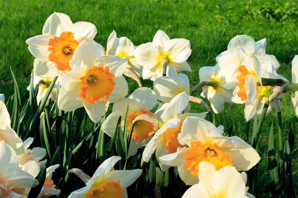 kwiaty do ogrodu narcyzy