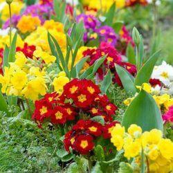 kwiaty do ogrodu pierwiosnki 2