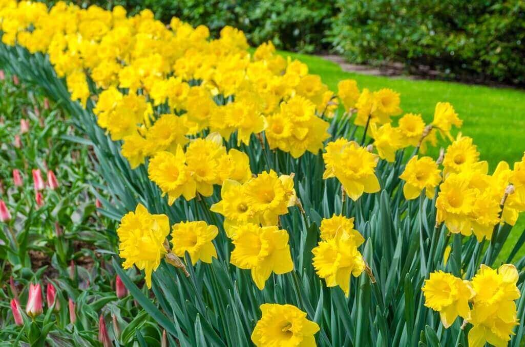 kwiaty do ogrodu zonkile